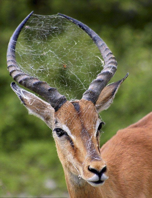 gazelle with spider web in horns
