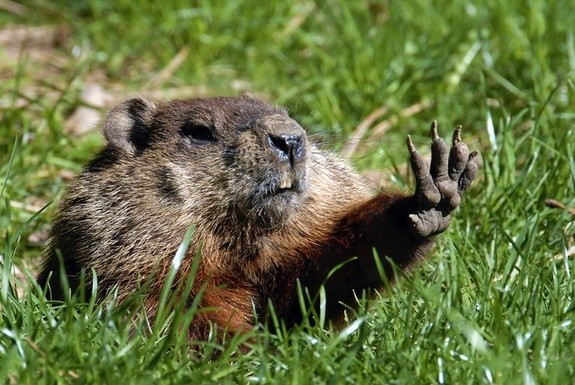 groundhog reaching out