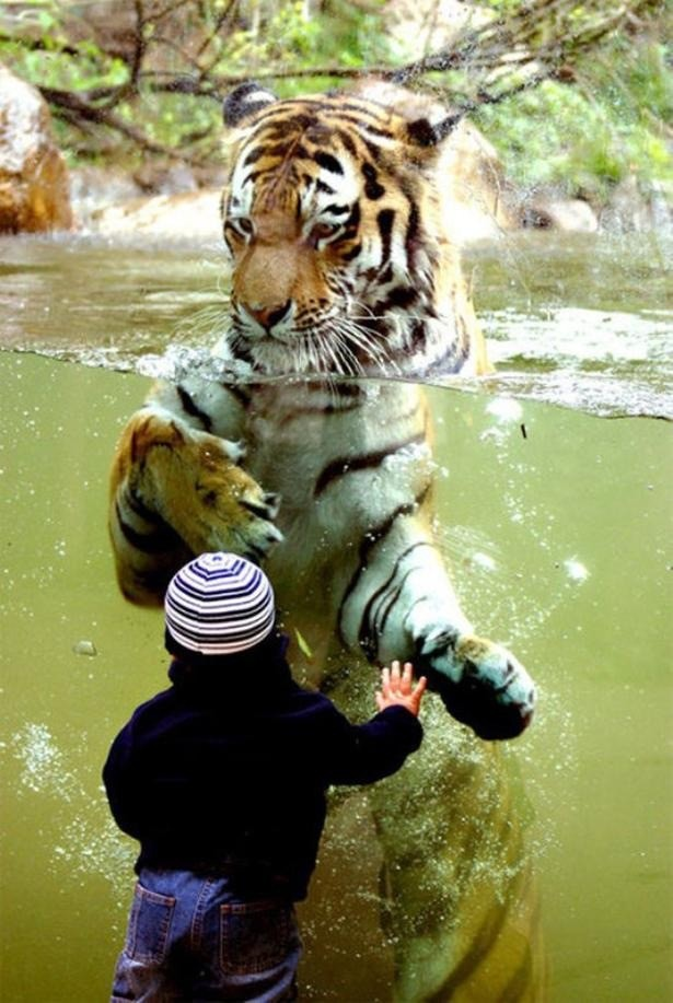 tiger swimming behind glass