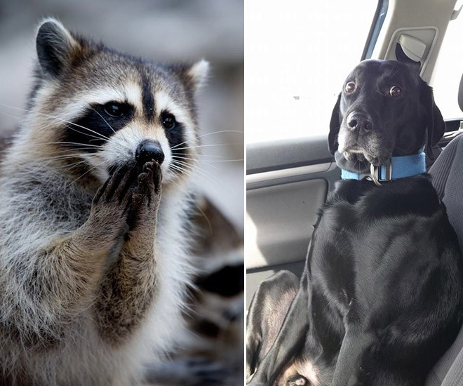 concerned raccoon and dog