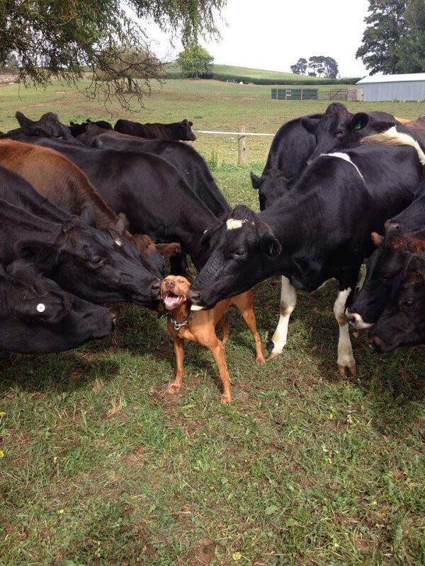 dog getting licked by cows