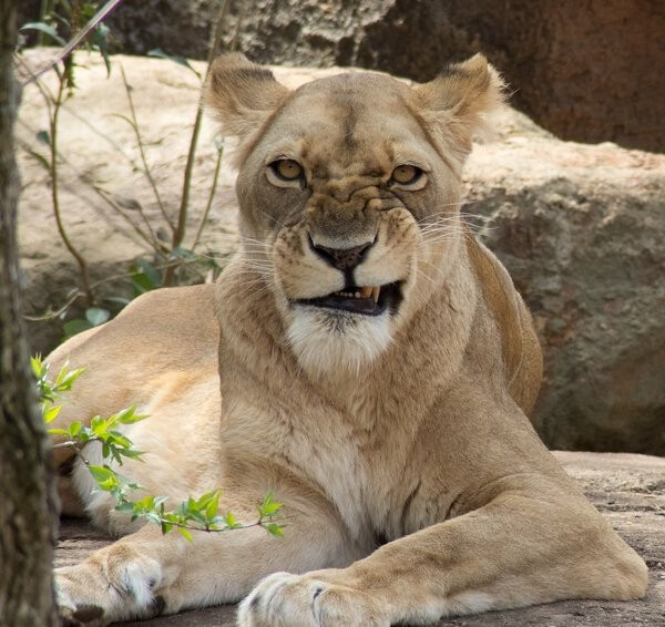 lion with a monday mourning stare