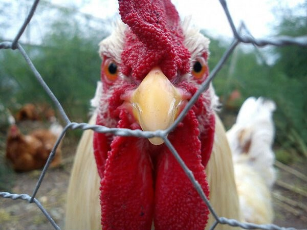 angry looking chicken through the wire