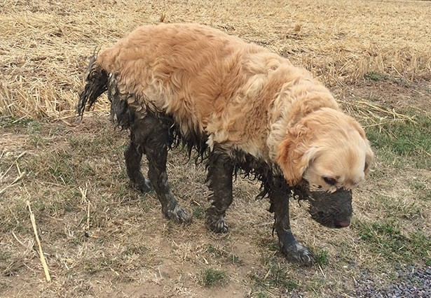 dog half covered in mud