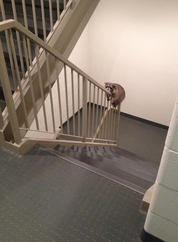 raccoon laying on staircase